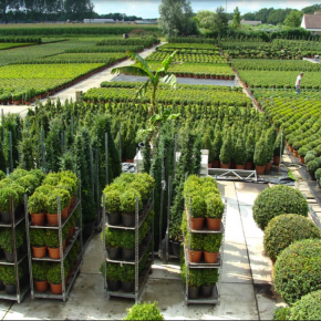 Buxus hedging - large stocks available - low prices